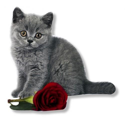 Magnet Rdeča vrtnica